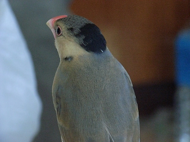 ヒナ換羽(トヤ)は桜文鳥が面白い!